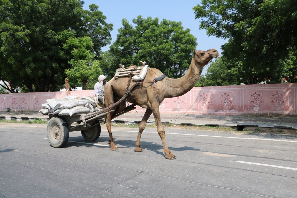 India traffic - camel